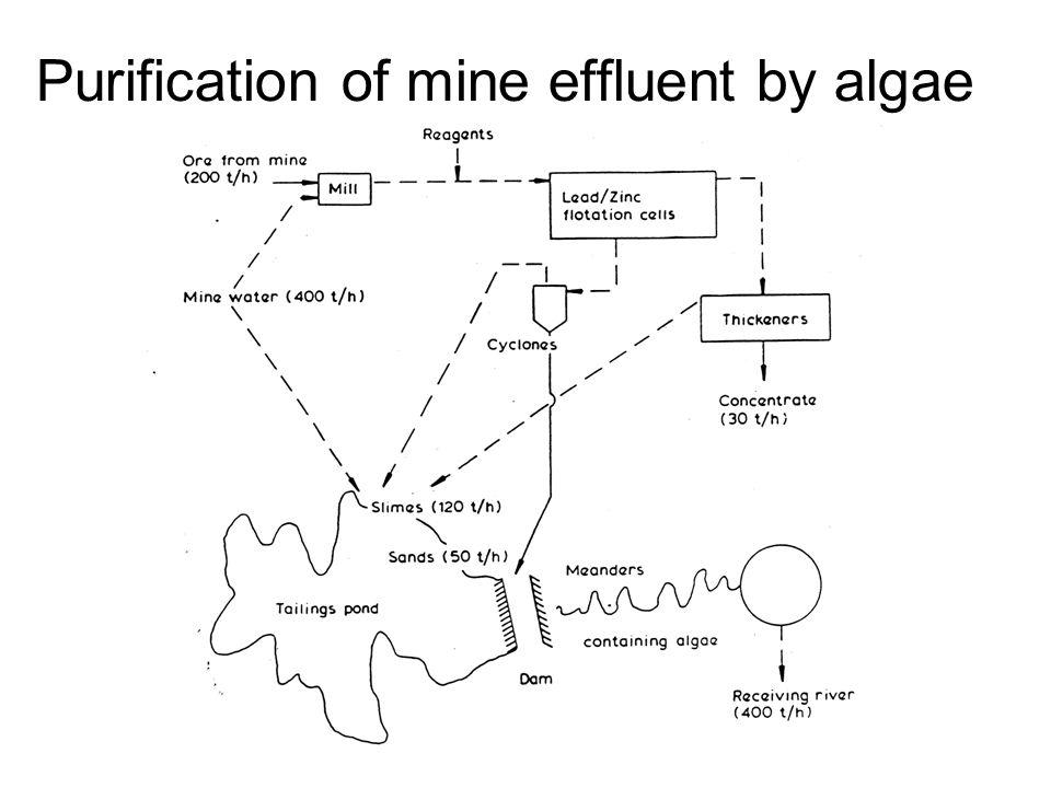 Purification of mine effluent by algae
