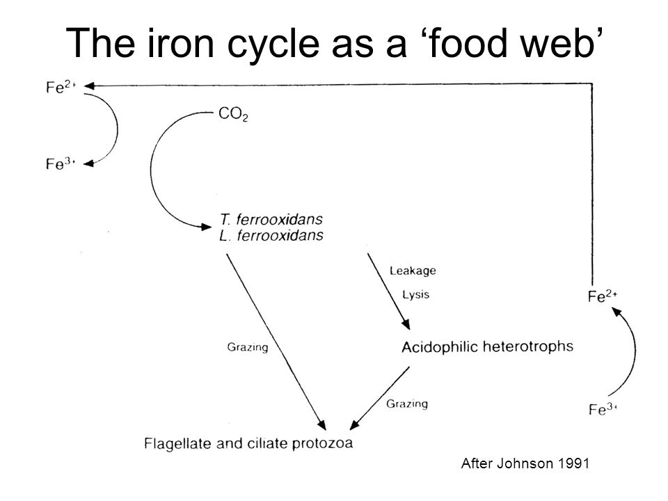 The iron cycle as a 'food web'