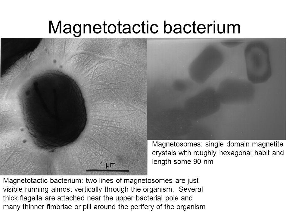 Magnetotactic bacterium