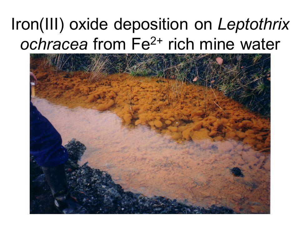 Iron(III) oxide deposition on Leptothrix ochracea from Fe2+ rich mine water