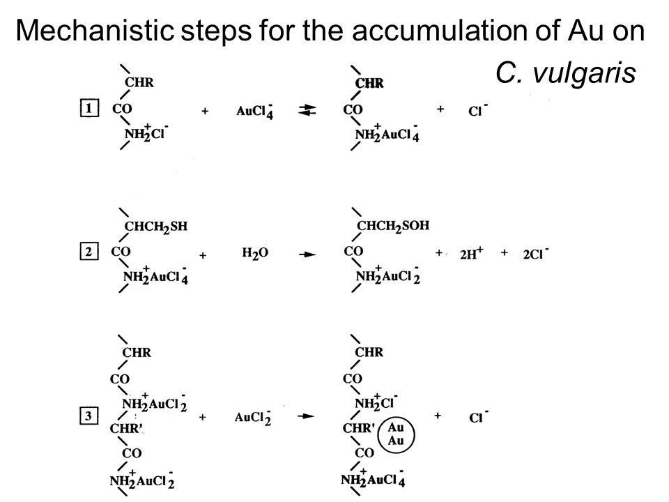 Mechanistic steps for the accumulation of Au on