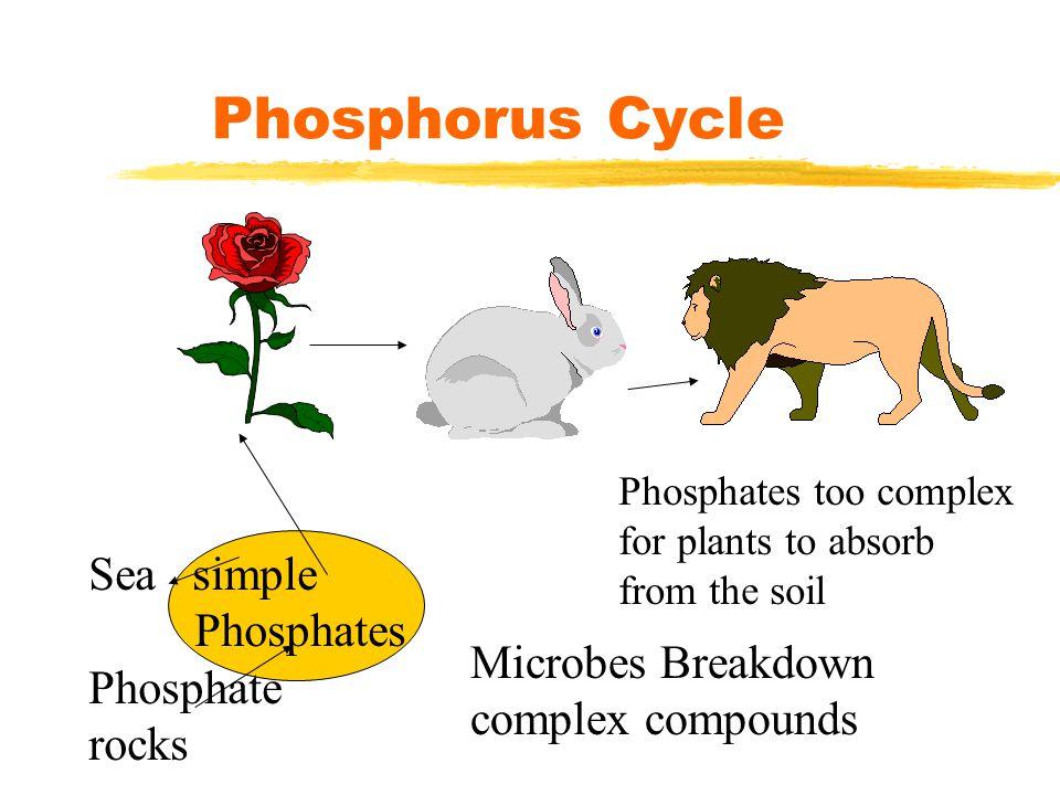Phosphorus Cycle Sea simple Phosphates Phosphate rocks