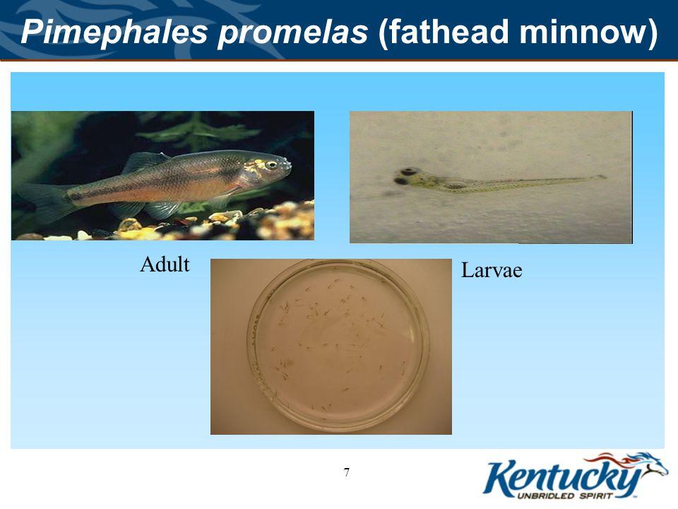 Pimephales promelas (fathead minnow)