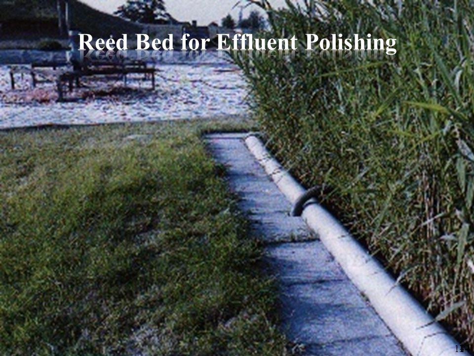 Reed Bed for Effluent Polishing
