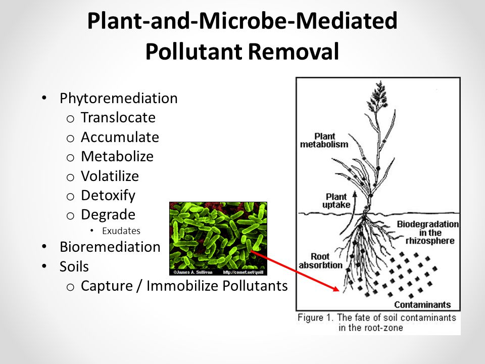Plant-and-Microbe-Mediated Pollutant Removal