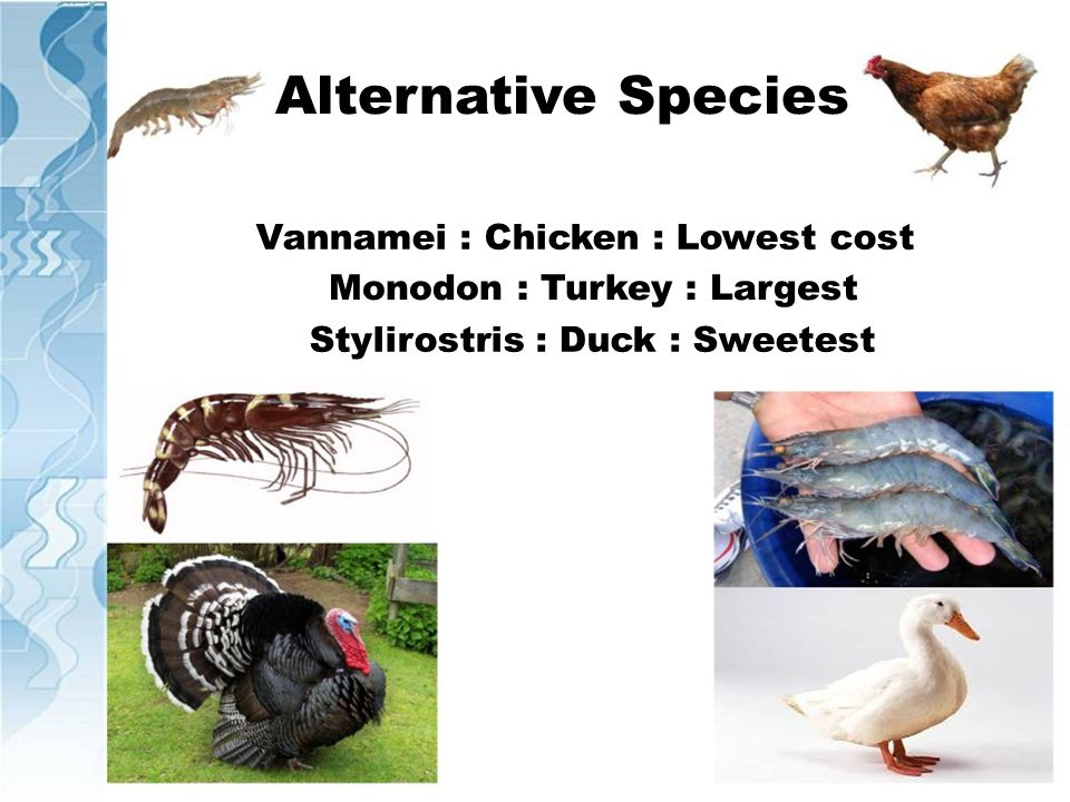 Alternative Species Vannamei : Chicken : Lowest cost