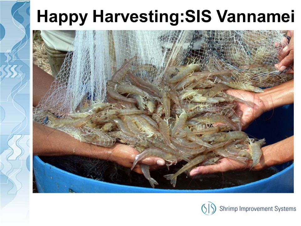 Happy Harvesting:SIS Vannamei