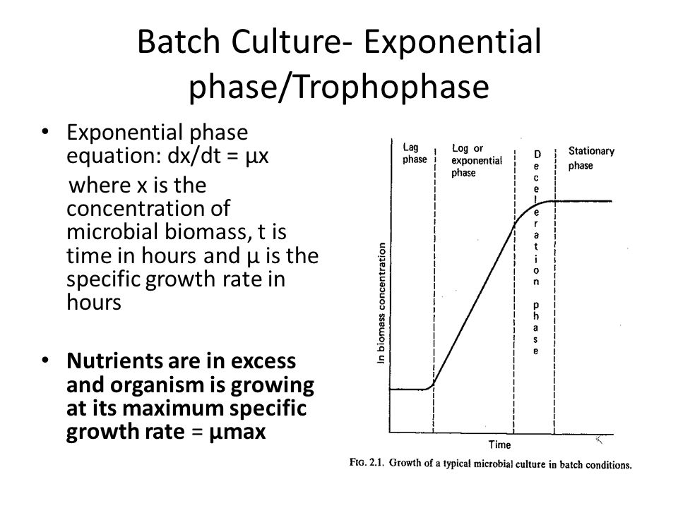 Batch Culture- Exponential phase/Trophophase