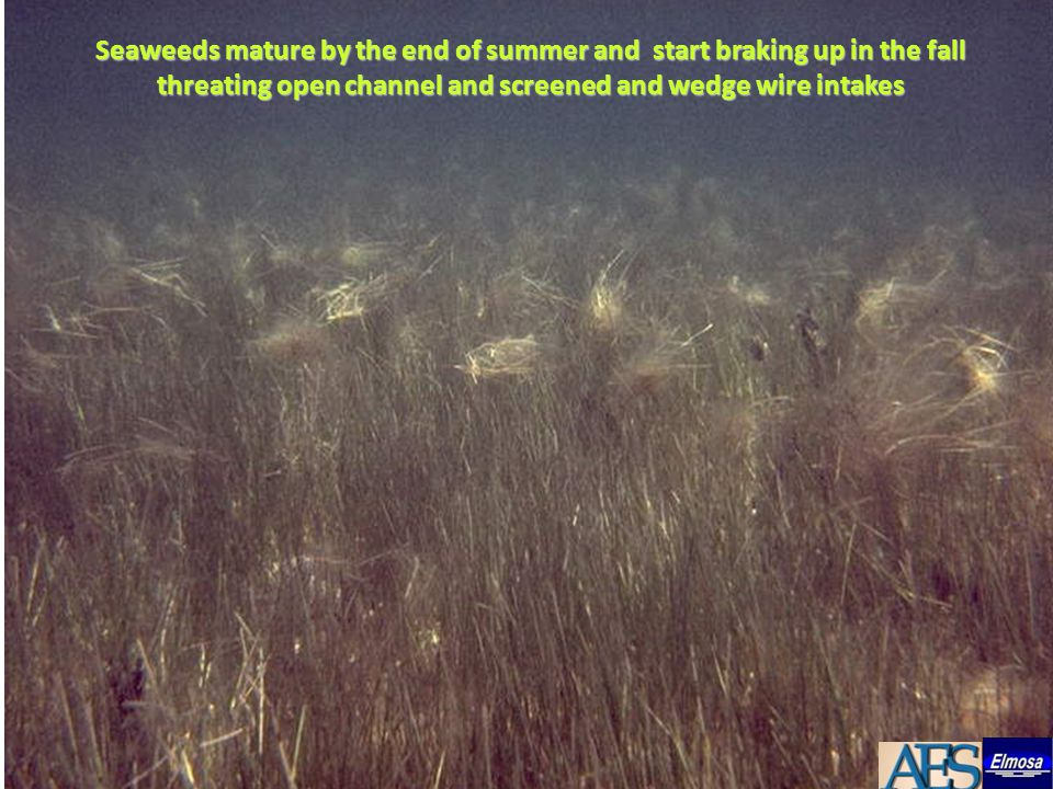 Seaweeds mature by the end of summer and start braking up in the fall threating open channel and screened and wedge wire intakes