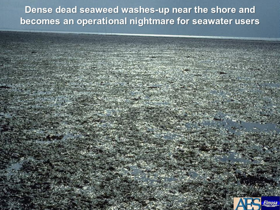 Dense dead seaweed washes-up near the shore and becomes an operational nightmare for seawater users