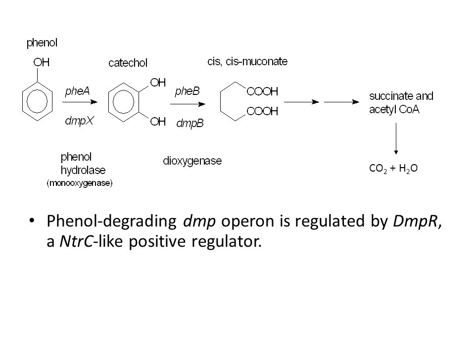 CO2 + H2O Phenol-degrading dmp operon is regulated by DmpR, a NtrC-like positive regulator.