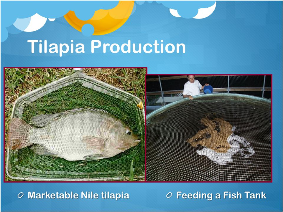 Marketable Nile tilapia
