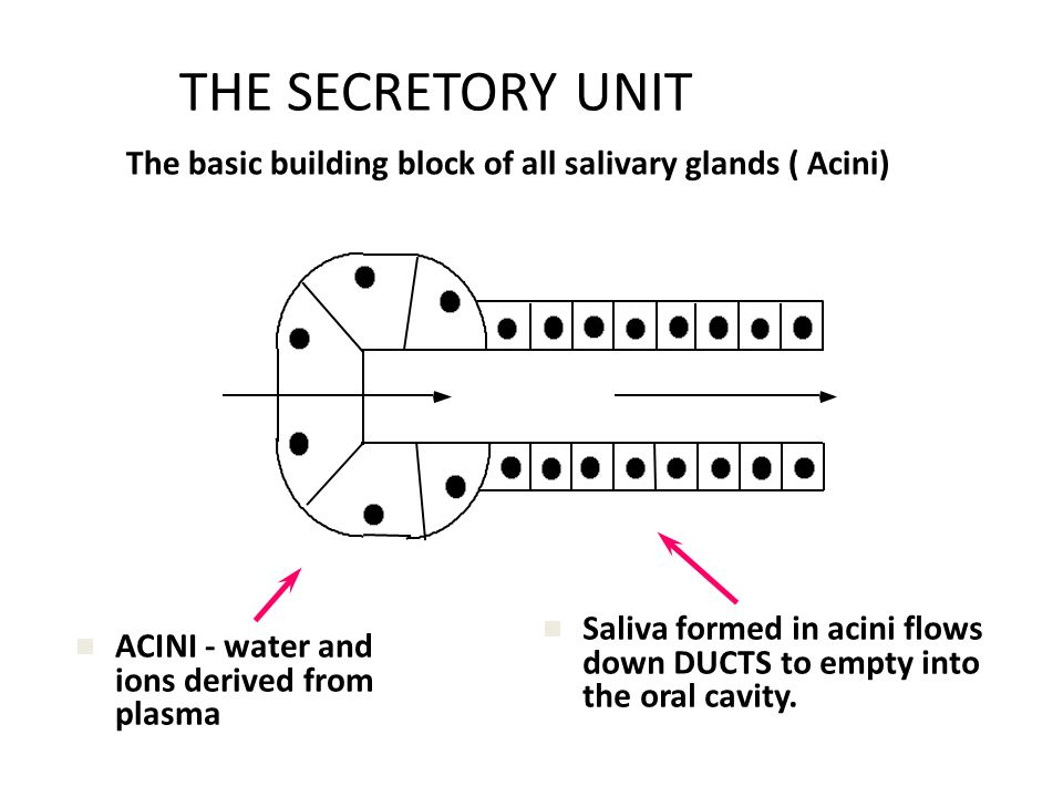THE SECRETORY UNIT The basic building block of all salivary glands ( Acini) Saliva formed in acini flows down DUCTS to empty into the oral cavity.