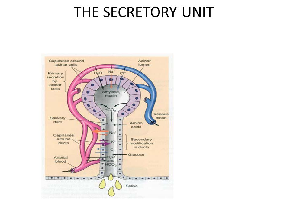 THE SECRETORY UNIT
