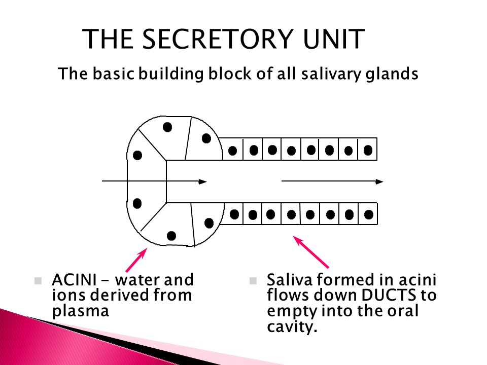 THE SECRETORY UNIT The basic building block of all salivary glands