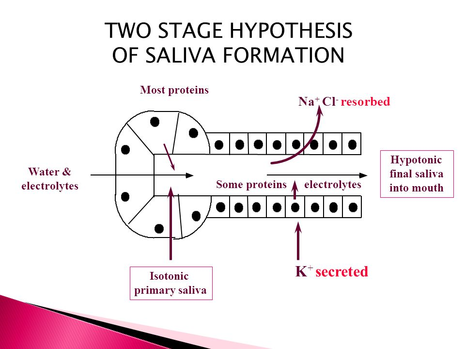 Hypotonic final saliva into mouth