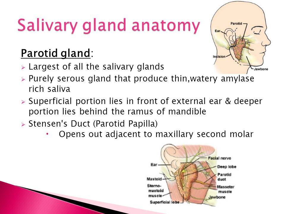 Salivary gland anatomy