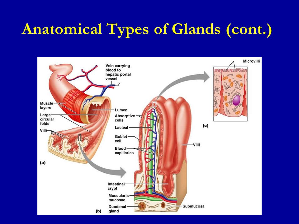 Anatomical Types of Glands (cont.)
