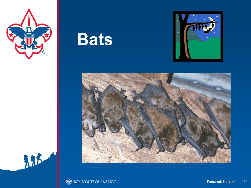 4/12/2017 Bats. Bats are the mammal that are most likely to cause rabies in people in the US.