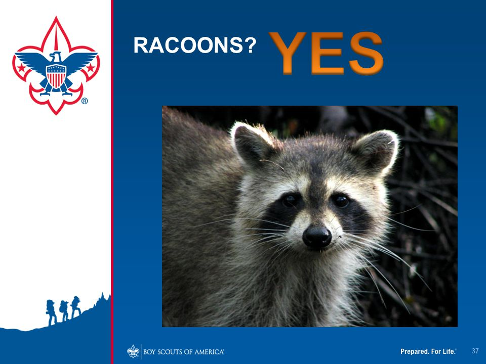 4/12/2017 RACOONS. YES.