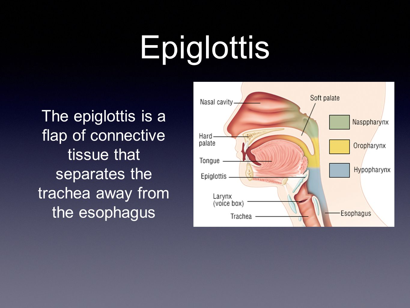 Epiglottis The epiglottis is a flap of connective tissue that separates the trachea away from the esophagus.
