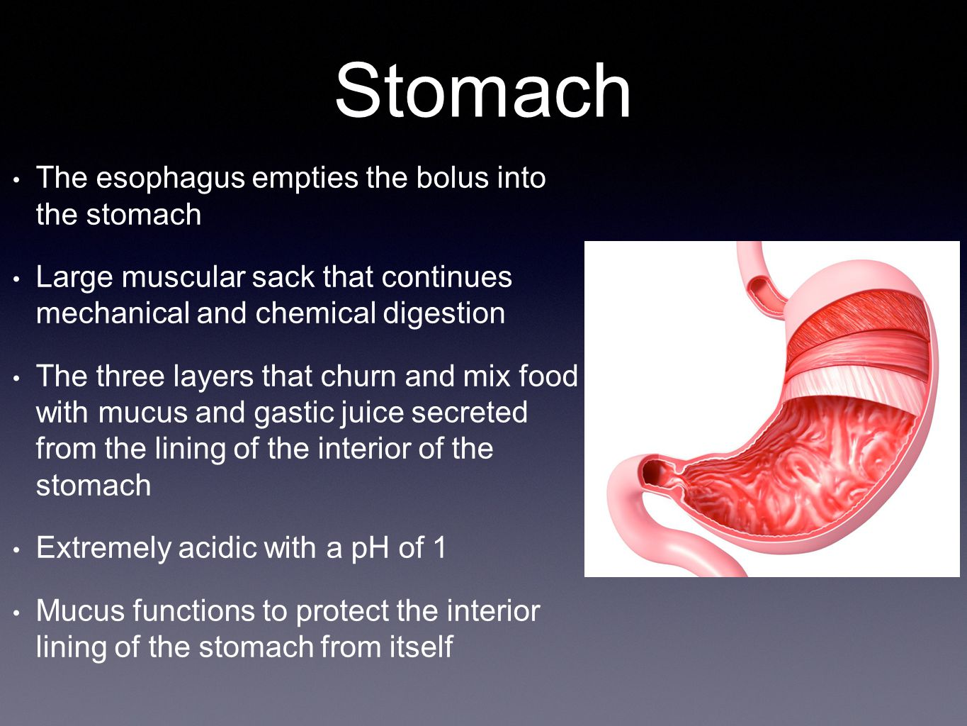 Stomach The esophagus empties the bolus into the stomach