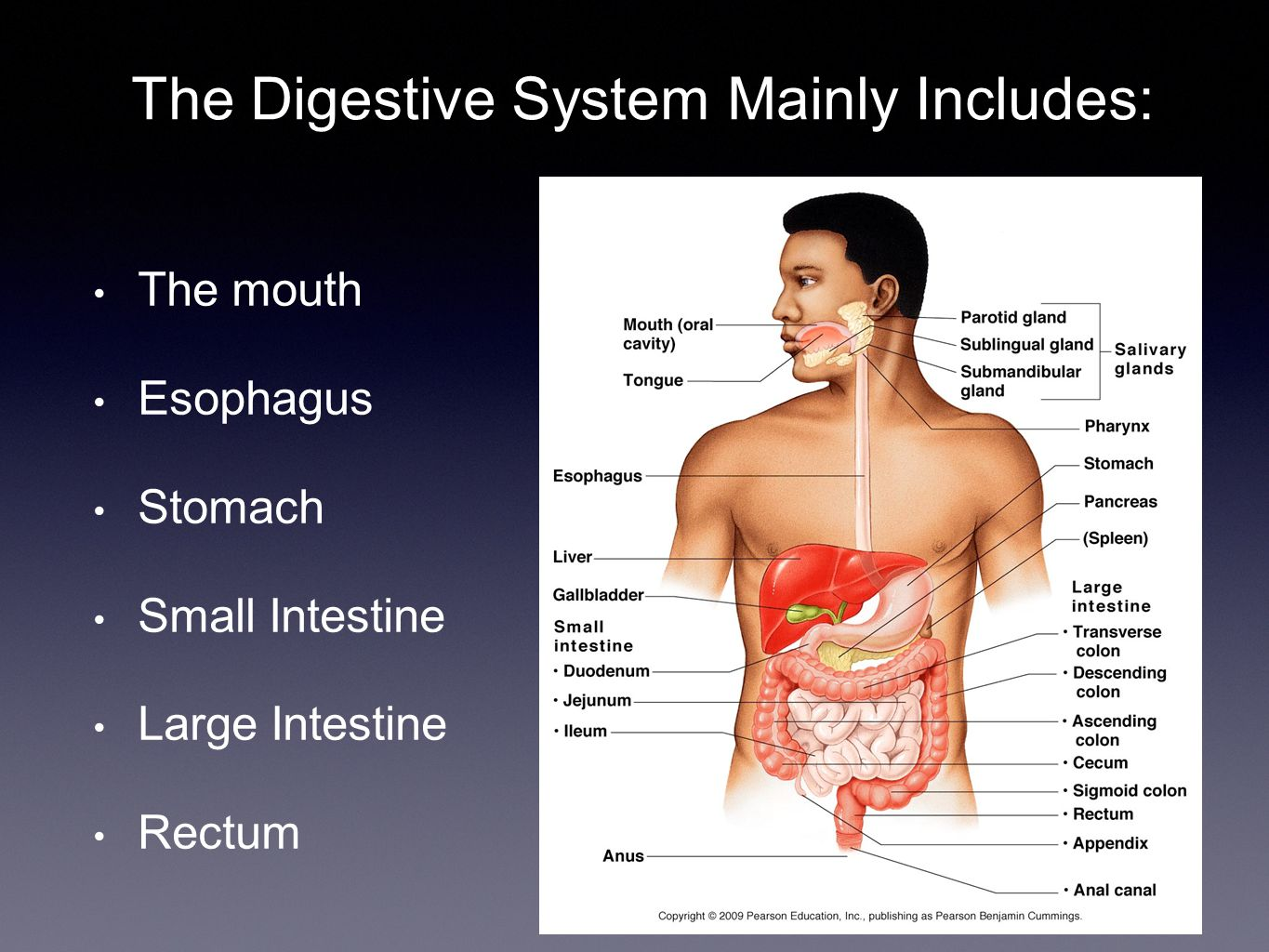 The Digestive System Mainly Includes: