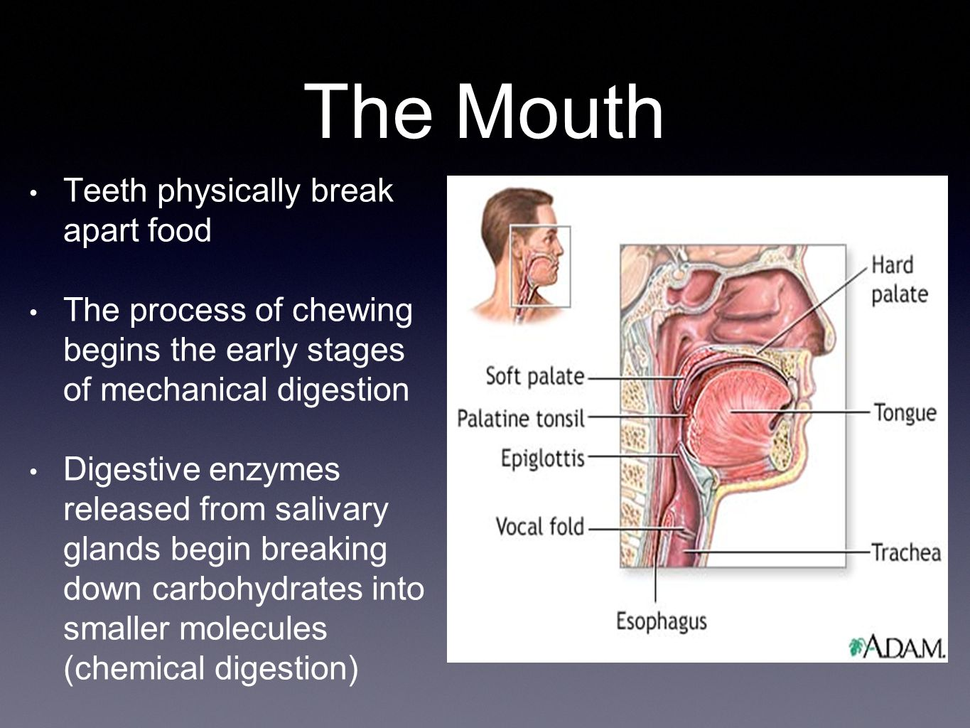 The Mouth Teeth physically break apart food
