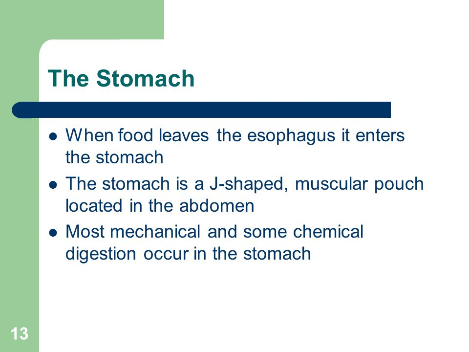 The Stomach When food leaves the esophagus it enters the stomach