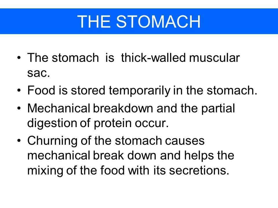 THE STOMACH The stomach is thick-walled muscular sac.