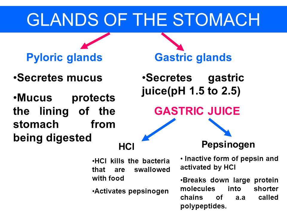 GLANDS OF THE STOMACH Pyloric glands Secretes mucus