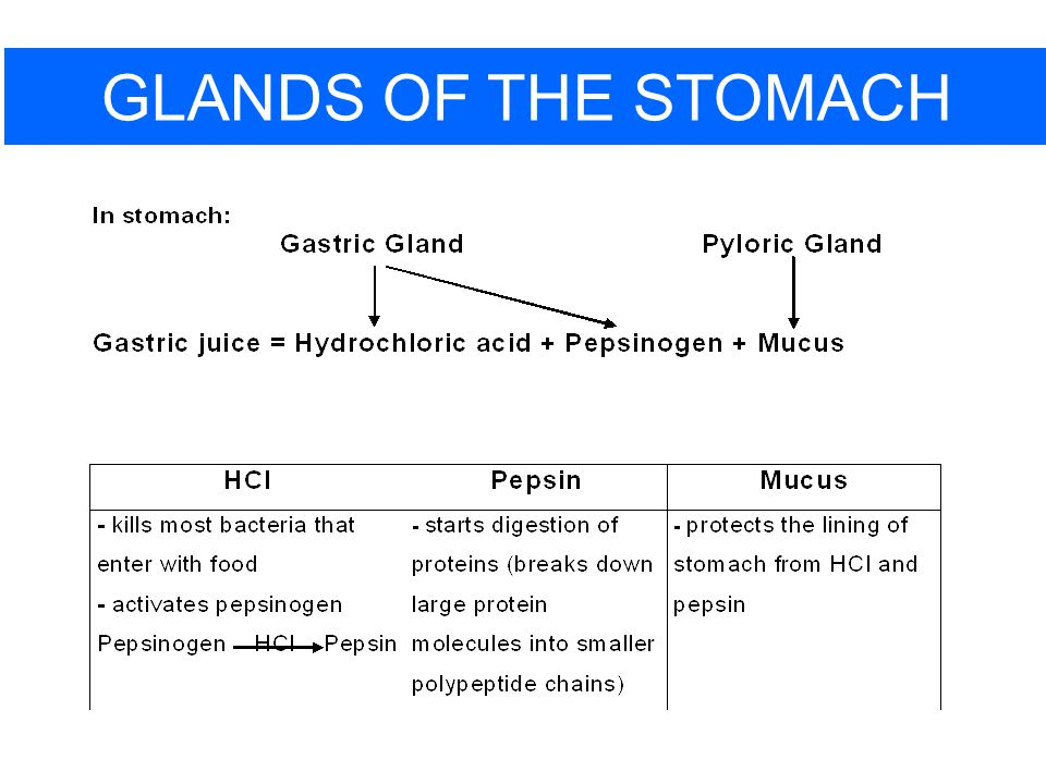 GLANDS OF THE STOMACH