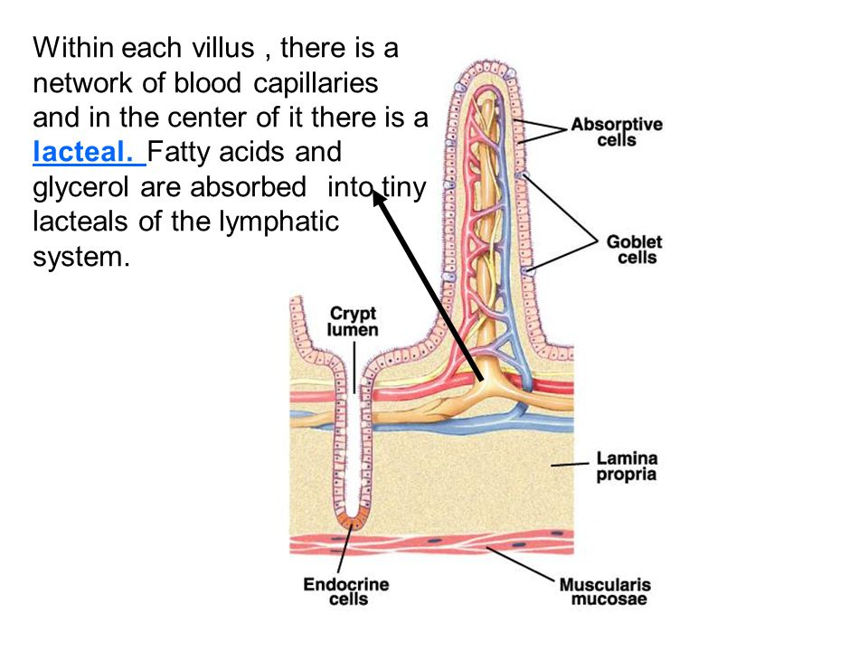 Within each villus , there is a network of blood capillaries and in the center of it there is a lacteal.