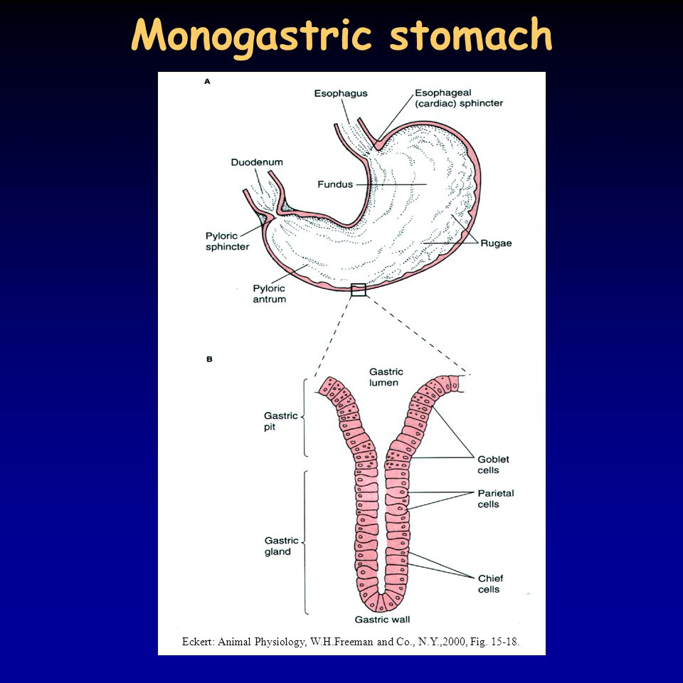 Monogastric stomach Eckert: Animal Physiology, W.H.Freeman and Co., N.Y.,2000, Fig. 15-18.