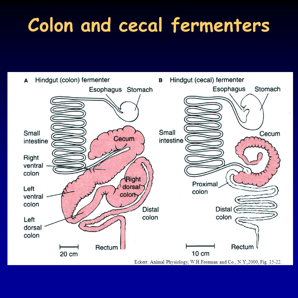 Colon and cecal fermenters