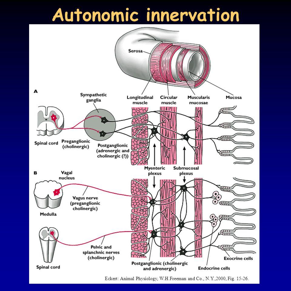 Autonomic innervation