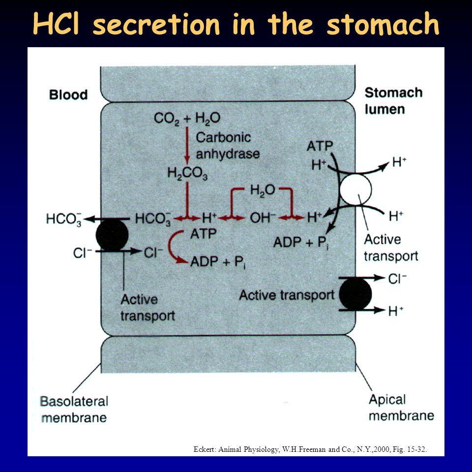 HCl secretion in the stomach
