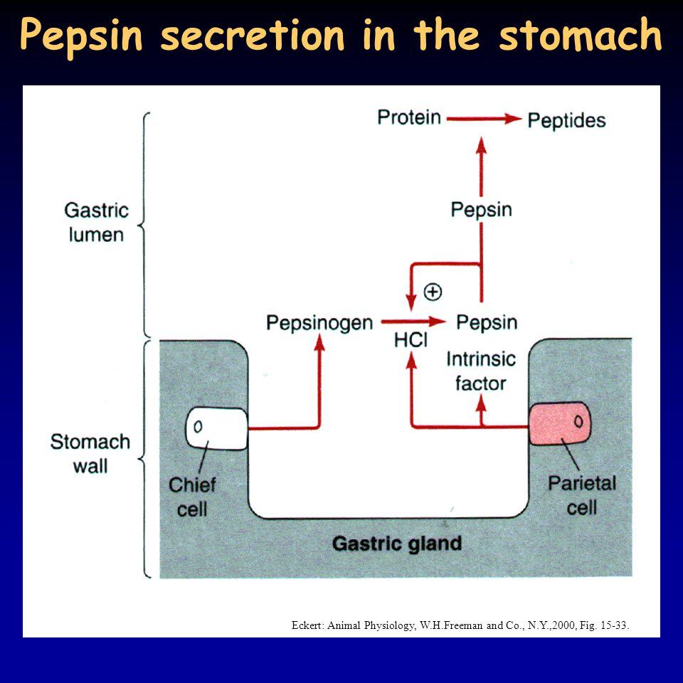 Pepsin secretion in the stomach