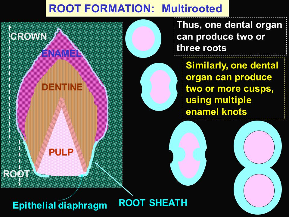 ROOT FORMATION: Multirooted