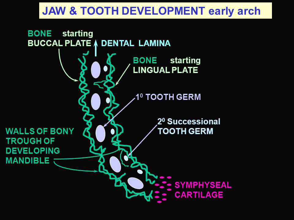 JAW & TOOTH DEVELOPMENT early arch