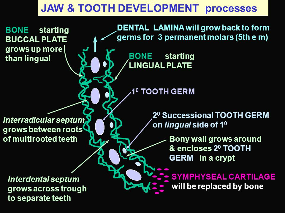 JAW & TOOTH DEVELOPMENT processes