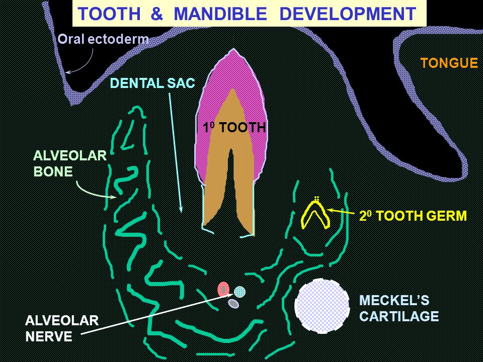 TOOTH & MANDIBLE DEVELOPMENT