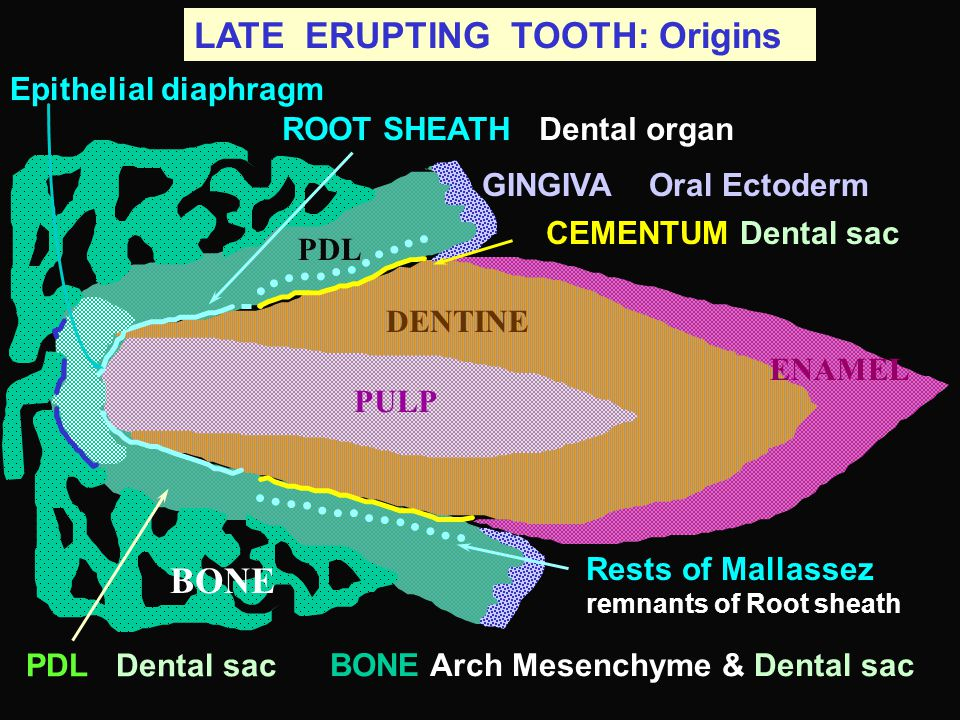 BONE LATE ERUPTING TOOTH: Origins Epithelial diaphragm