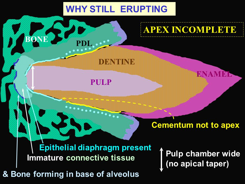 APEX INCOMPLETE WHY STILL ERUPTING BONE PDL DENTINE ENAMEL PULP