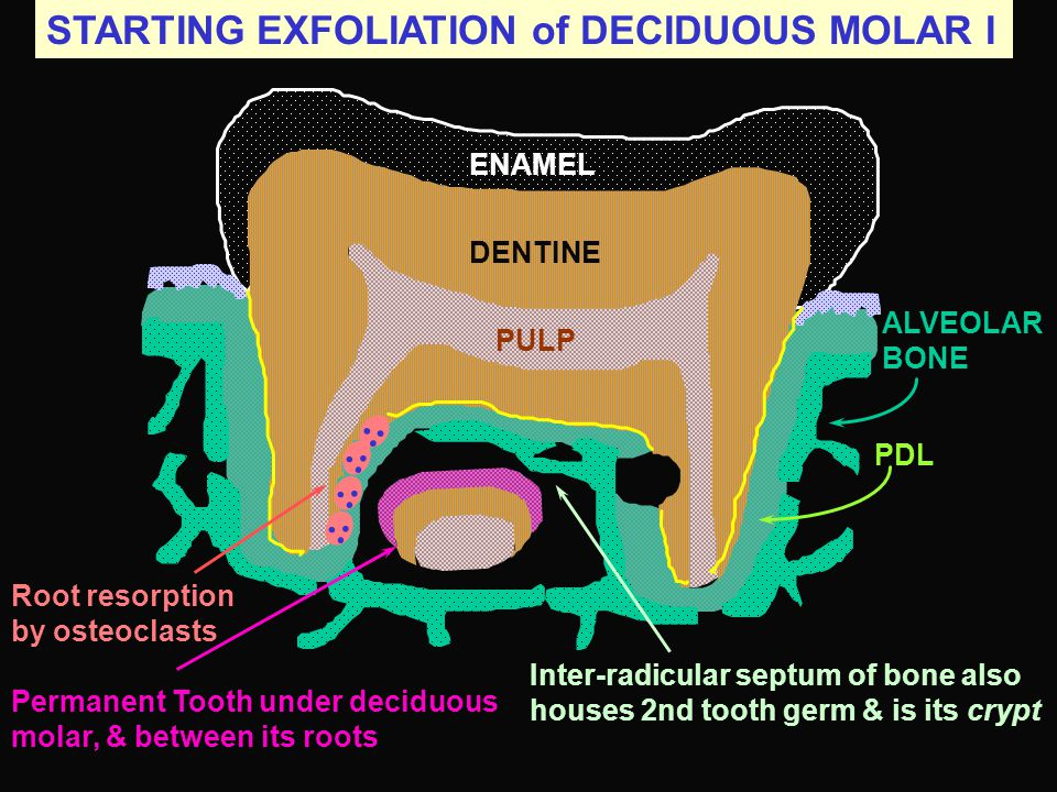 STARTING EXFOLIATION of DECIDUOUS MOLAR I
