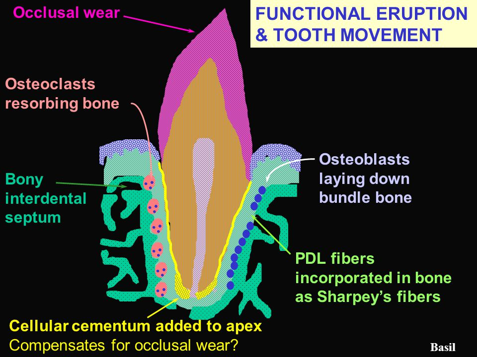 FUNCTIONAL ERUPTION & TOOTH MOVEMENT
