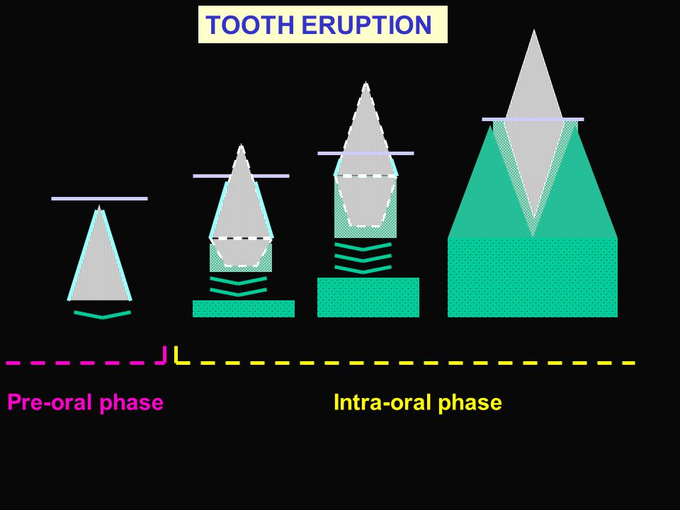Intra-oral phase TOOTH ERUPTION Pre-oral phase