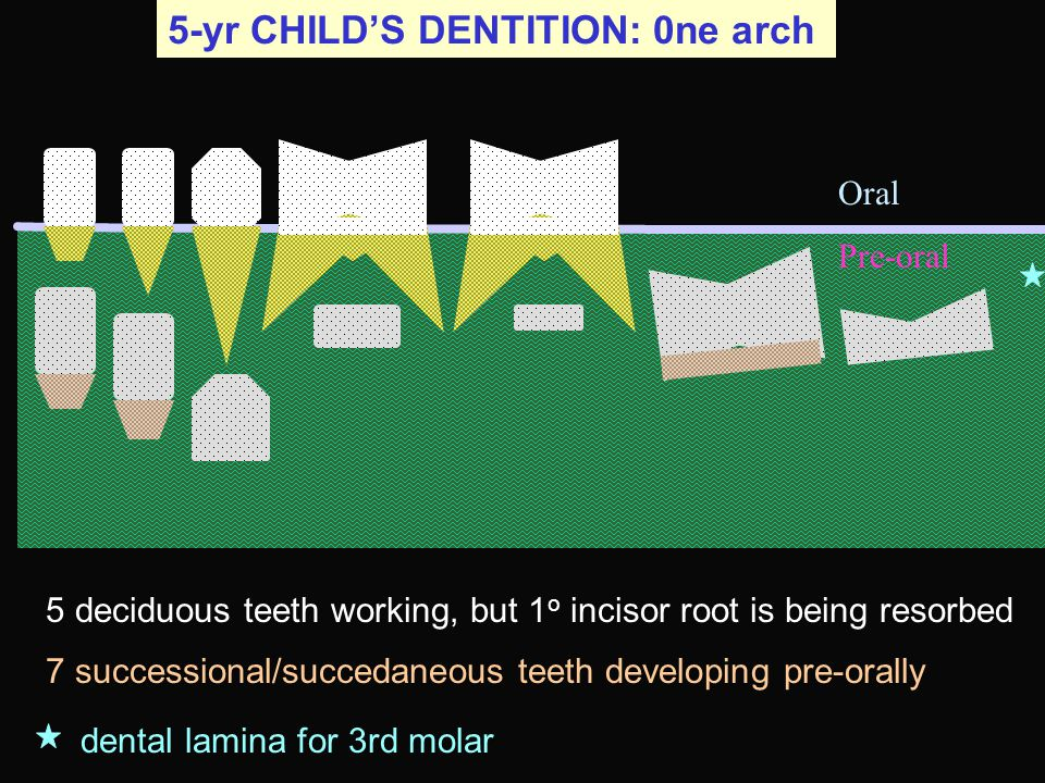5-yr CHILD'S DENTITION: 0ne arch