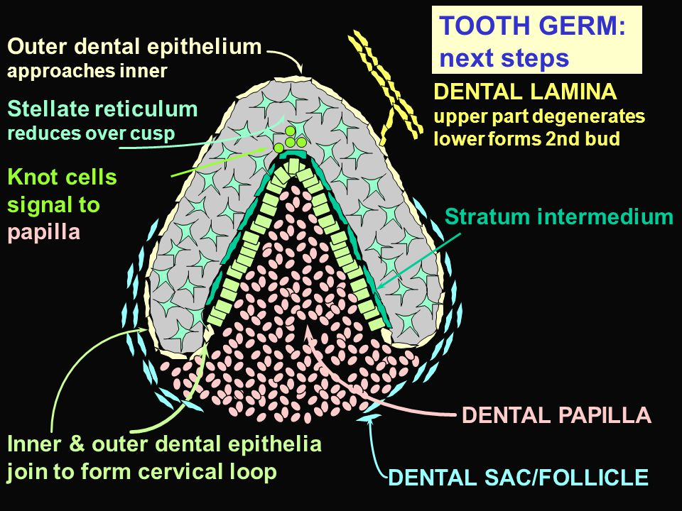 TOOTH GERM: next steps Outer dental epithelium approaches inner