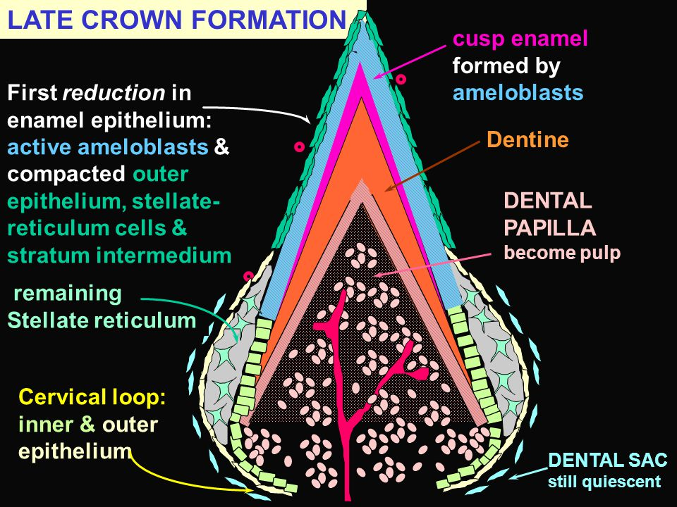 LATE CROWN FORMATION cusp enamel formed by ameloblasts